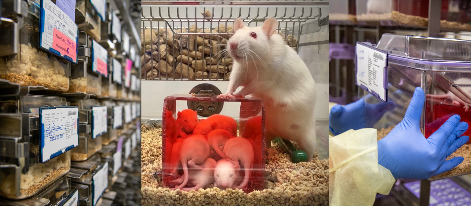 Banner image of the rodent model breeding core